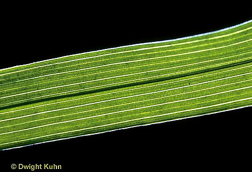 LF09-001a  Lily leaf - monocot, showing parallel veins