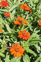 Zinnia 'Profusion Fire' (angustifolia x elegans) annuals summer blooming flowers