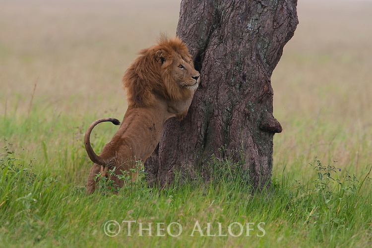 Tanzania, Serengeti, male lion trying to climb tree
