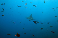 A spotted eagle ray (Aetobatus narinari) swims through a school of fish at the Shark Fin Rock Dive Site at the Cocos Island off the coast of Costa Rica.