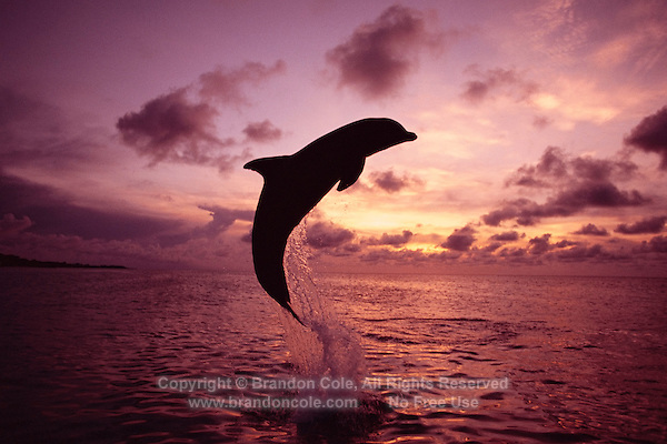 mt122. Bottlenose Dolphin (Tursiops truncatus) jumping out the ocean at sunset. Caribbean Sea..Photo Copyright © Brandon Cole. All rights reserved worldwide.  www.brandoncole.com