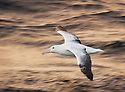 Southern Royal Albatross (Diomedea epomophora) in flight, Auckland Island, New Zealand