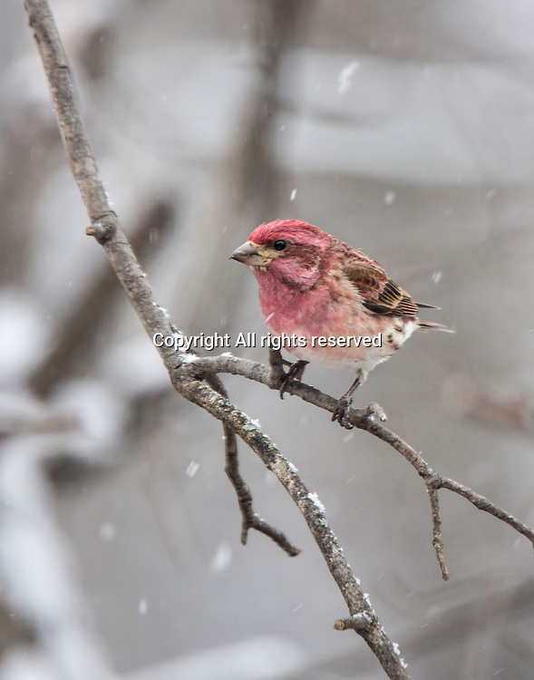 A house finch sits in a tree in the snow.