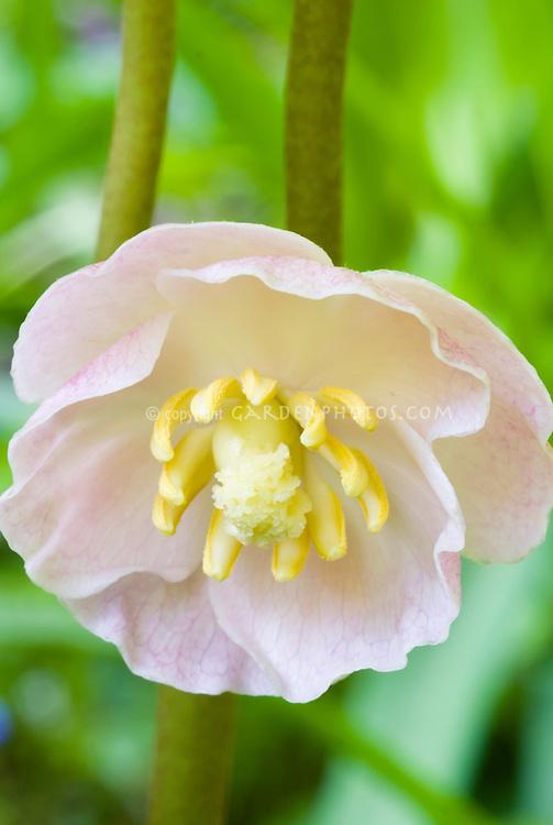 Podophyllum peltatum - pink form