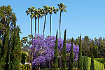 USA, California, Los Angeles. Purple jacaranda blooms along palm trees in West Hollywood.