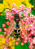 Cicada Killer (Sphecius speciosus), Ohio, USA