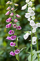 Foxgloves in a country garden, Swinbrook, Oxfordshire, United Kingdom
