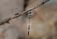 339850009 a wild male slender clubskimmer brechmorhoga praecox perches on a dead stick in sabino canyon pinal county arizona