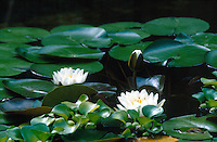 LILIACAE FAMILY<br /> Water Lily<br /> Salem, Massachusetts