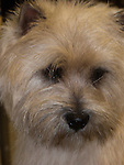 Cairn Terrier<br />