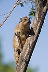 Rock hyrax, Procavia johnstonia, Dassie, young climbing tree, Augrabies Fall National Park, Northern Cape, South Africa