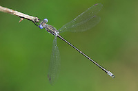 Spotted Spreadwing (Lestes congener) Damselfly - Male, West Harrison, Westchester County, New York