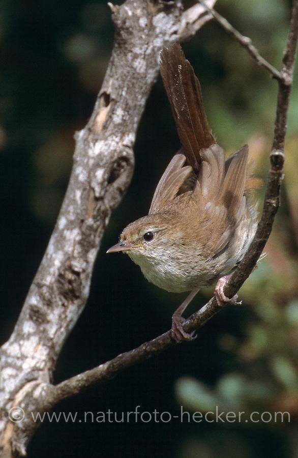 Seidensänger, Cettia cetti, Cetti's warbler