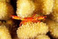 common guard crab or defender crab, Trapezia intermedia, in cauliflower coral, Pocillopora meandrina, Kona, Big Island, Hawaii, Pacific Ocean