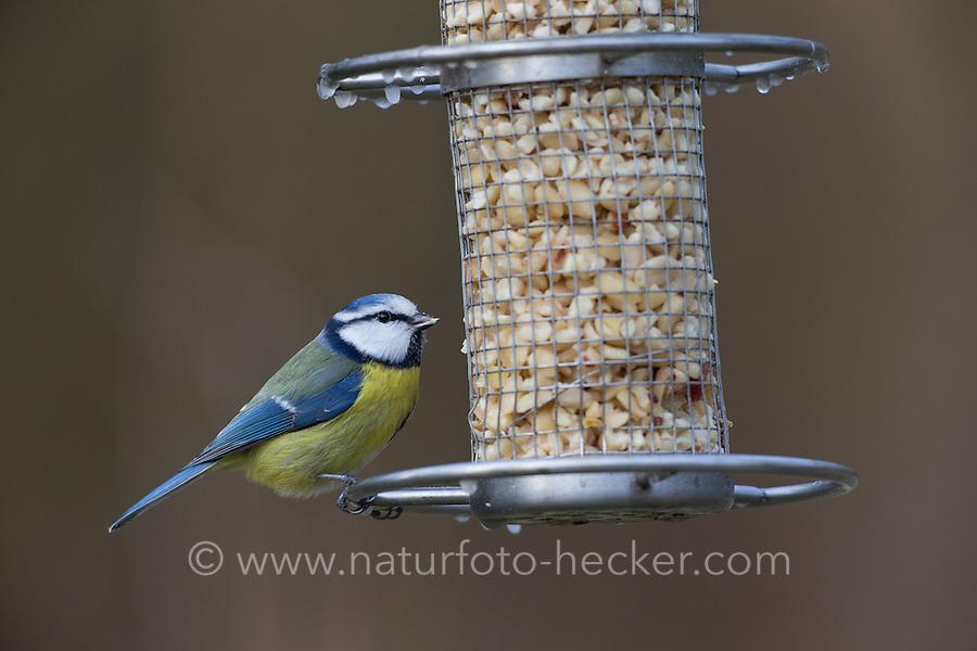 Blaumeise, an der Vogelfütterung, Erdnüsse, Futtersilo, Blau-Meise, Meise, Meisen, Parus caeruleus, blue tit