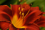 Close-up of a burgundy colored lily with a partial green background.