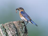 Eastern Bluebird (Sialia sialis), female carrying food