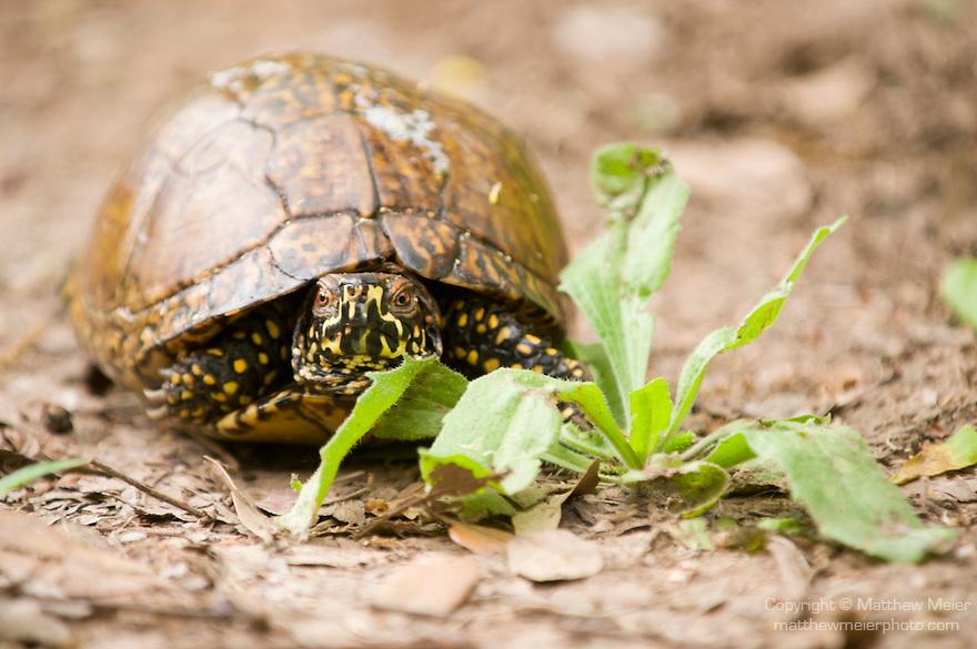 Columbia Ranch, Brazoria County, Damon, Texas; a Three-toed Box Turtle (Terrapene carolina) on a trail through the woods