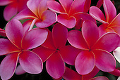Pink Plumeria, fraginpani