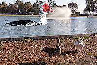 A Muscovy duck has been digitally added to an image of the duck pond at San Lorenzo Park.