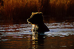 A brown bear takes a swim in Katmai National Park, Alaska.