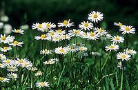 Gänseblümchen, Maßliebchen, Bellis perennis, English Daisy