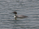 Common Loon in Lake Nokomis during Spring Migration