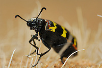Blister Beetle, Namib Desert, Namibia.