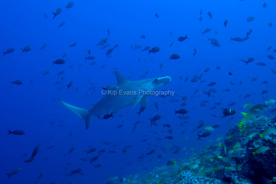 A scalloped hammerhead shark swims through a school of tropical fish at Cocos Island off the coast of Costa Rica.