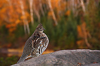 &quot;Glorious Grouse&quot;<br />