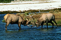 Two mature Rocky Mountain Elk bulls spar (dominance behavior) in the edge of a stream.  Western U.S., fall.