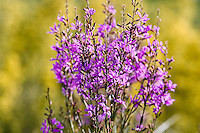 Purple-loosestrife (Lythrum salicaria) on the field of Hortobagy National Park, Hungary