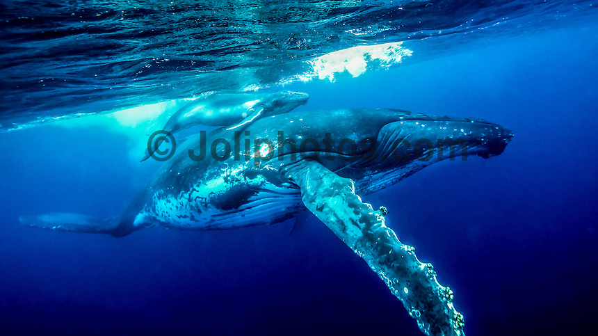 Vava'u, Kingdom of Tonga (Thursday August 11 , 2016): A winters day with a mix overcast to sunny skies, light winds and clam seas was the perfect day for a whale watching  trip and the opportunity to swim with them in the waters off Vava'u harbour.   The conditions kept most of the whales on the move today with a number of breaches. Tonga is one of the few places in the world where you can swim with these magnificent creatures. The migrating whales are generally around from June to late October with a number of births happening in the Tongan waters. Photo: joliphotos