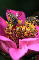A apis cerana bee is foraging a flower.
