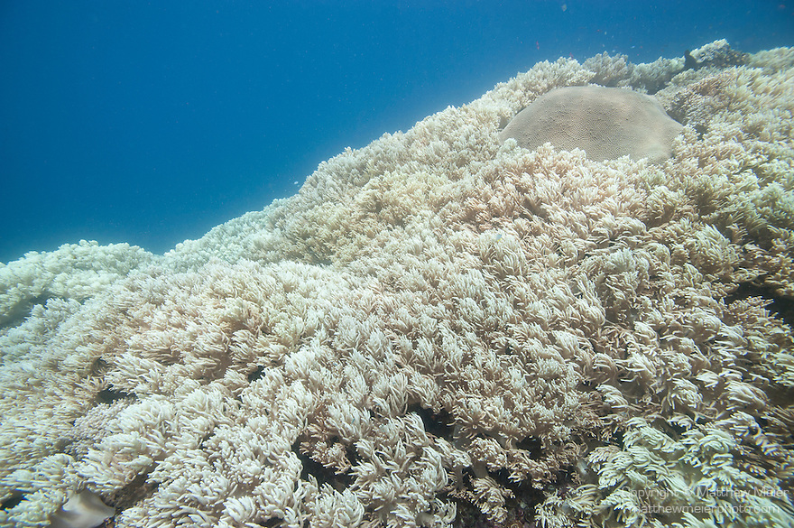 Bligh Waters, Vatu I Ra Passage, Fiji; a large field of golden, leather soft corals surrounding an encrusted dome of star corals at Wheat Fields Dive Site