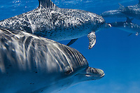RW4457-D. Atlantic Spotted Dolphins (Stenella frontalis) swimming together.   Appearance varies greatly between different stocks throughout their range, and based on age. In general, a calf is born unspotted, and as it matures spots develop and increase. Bahamas, Atlantic Ocean.<br /> Photo Copyright &copy; Brandon Cole. All rights reserved worldwide.  www.brandoncole.com