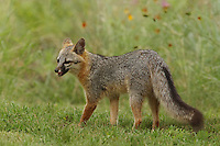 Gray Fox (female) in late June.