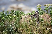 Bald eagle chick in a nest on a seastack along the shore of Cape Douglas, Katmai National Park, Alaska Peninsula, southwest Alaska.