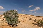 T-061 Carob tree in the Negev