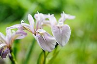Iris versicolor 'Rosea'
