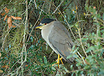 Black-crowned Night Heron in a tree overlooking the Myakka River