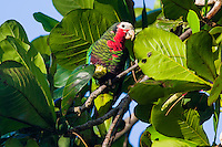 Cuban Parrots (Amazona leucocephala leucocephala) feeding in the early morning. Playa Larga, Cuba.
