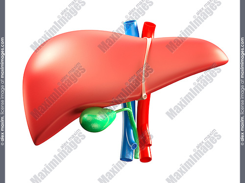 Liver and gallbladder colorful 3D illustration isolated on white background