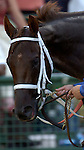 BALTIMORE, MD - Smarty Jones on his way back to the barn area from the winner's circle after winning the 2004 Preakness Stakes at Pimlico race track May 15, 2004