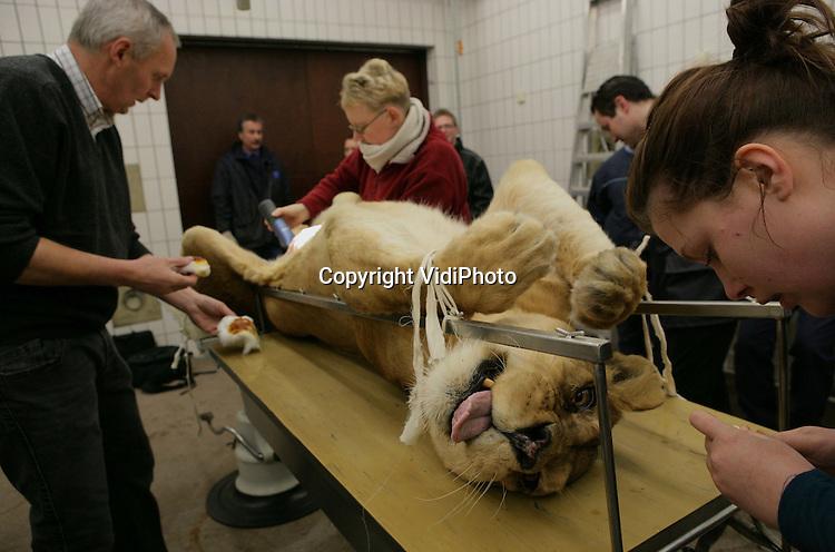 Foto: VidiPhoto..ARNHEM - Dierenarts Henk Luten heeft maandag de tien jaar oude leeuwin Eva van Burgers' Zoo in Arnhem gesteriliseerd. Het fokken met leeuwen gaat zo goed in Burgers' dat een deel van de leeuwinnen gesteriliseerd wordt om inteelt te voorkomen. Burgers' Safari telt dertien leeuwen, waaronder tien vrouwtjes.