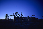 Joshua Trees Early Morning With Moon