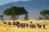 Herd of migrating Blue Wildebeest, Grumeti, Tanzania