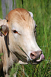 South America, Brazil, Pantanal.  A head of brahma bull cattle in the Caiman Ecological Reserve in the Pantanal.