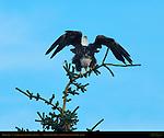 Bald Eagle 4th Year Juvenile (lightening the load), Silver Salmon Creek, Lake Clark National Park, Alaska