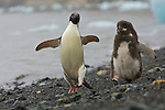 Adelie Penguin (Pygoscelis adeliae) on the beach with icebergs at Devil Island, Antarctica.  Feeding chase - moulting chick chasing parent to get fed.